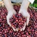 NESCAFÉ Plán: Mezinárodný deň kávy v duchu udržateľného pestovania
