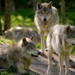 Minister životného prostredia Budaj je za určenie nulovej kvóty na lov vlka